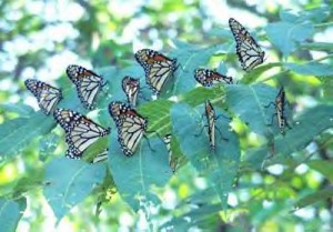 Monarch_butterflies